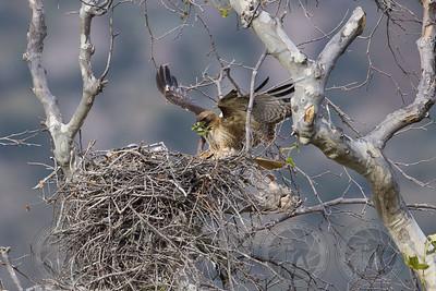 Female Red Tail Hawk San Diego CA