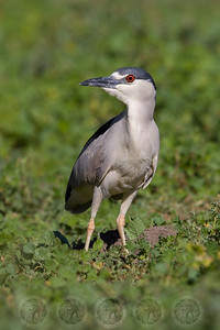 Black Crowned Night Heron Lindo lake CA