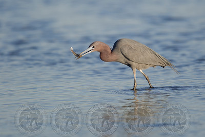 Little Blue Heron San Diego River Channel