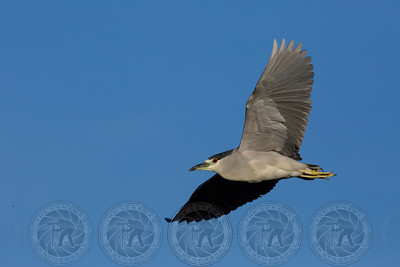 Black Crowned Night Heron Santee Lakes CA