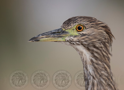 Immature Black Crowned Night Heron Lindo Lake CA