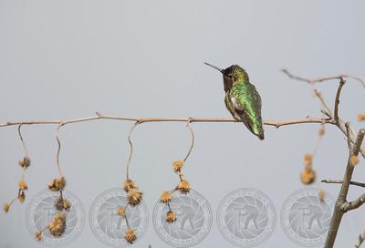 Annas Hummingbird Lindo Lake CA