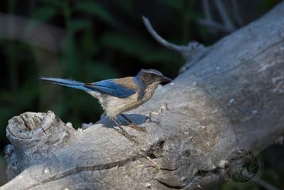Western Scrub Jay Cuyamaca State Park CA