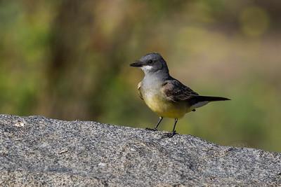 Cassins King Bird Lakeside CA