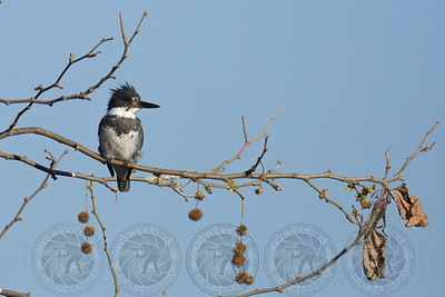 Belted Kingfisher Santee Lakes CA