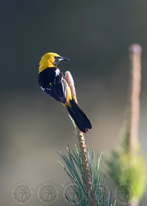 Hooded Oriole Lake Jennings CA