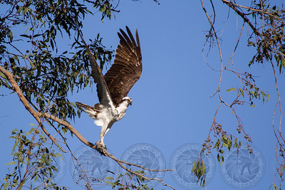 Osprey Lake Jennings CA
