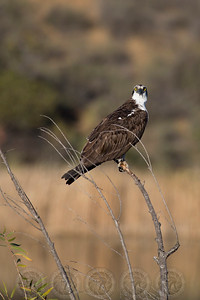 Osprey, Lake Jennings CA
