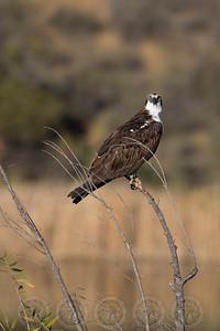 Osprey, Lake Jennings CA