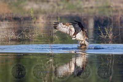 Osprey with breakfast Lindo Lake CA