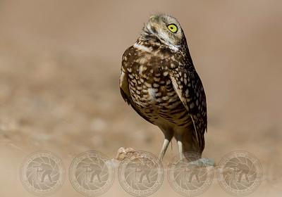 Burrowing Owl Salton Sea CA