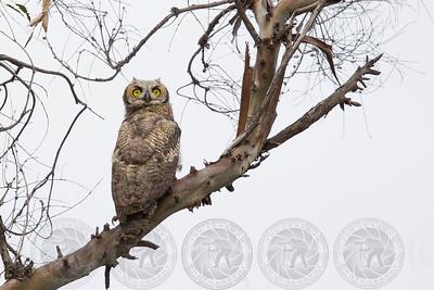 Great Horned Owl Lake Jennings, CA