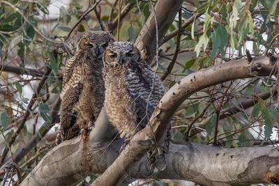 Great Horned Owls Lake Jennings, CA