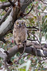 Great Horned Owl Lake Jennings. CA