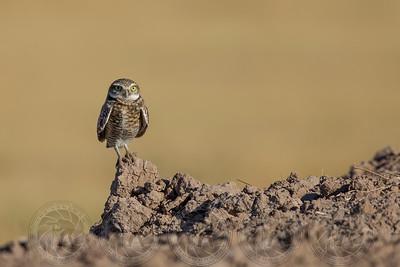 Burrowing Owl Salton Sea, CA