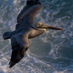 Brown Pelican La Jolla CA