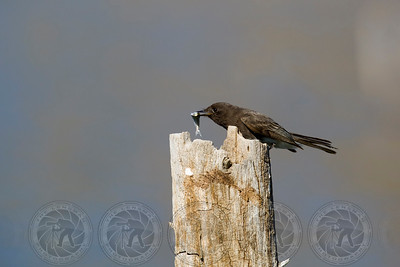Black Phoebe with fish Lake Hodges, CA
