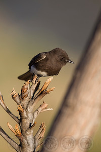 Black Phoebe Lindo Lake CA