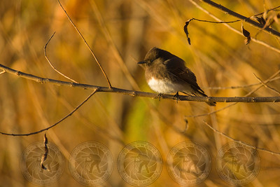 Black Phoebe. Lake Hodges CA