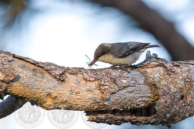 Pygmy Nuthatch Cuyamaca State Park CA