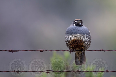 California Quail Lake Jennings CA