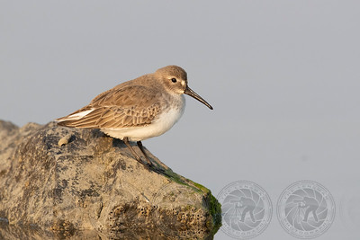Dunlin San Diego River Channel