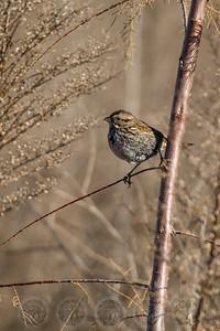 Sparrow Lake Hodges CA