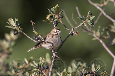 Lark Sparrow Cuyamaca State park CA