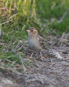 Grasshopper Sparrow San Diego CA