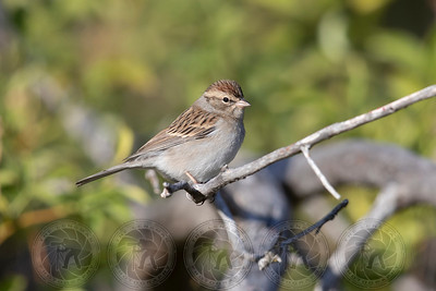 Chipping Sparrow Cuyamaca Park CA