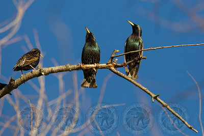European Starlings Lindo Lake CA