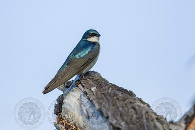 Tree Swallow Santee Lakes CA