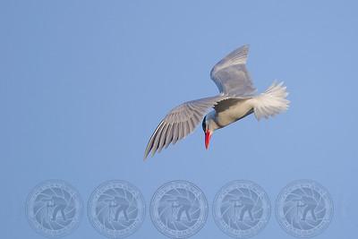 Caspian Tern Santee Lakes CA