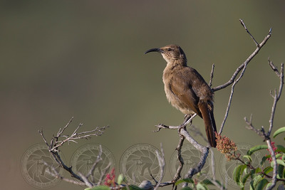 California Thrasher lake Jennings CA