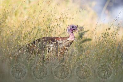Wild Turkey Cuyamaca State Park CA