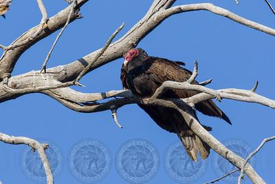 Turkey Vulture Cuyamaca State Park CA
