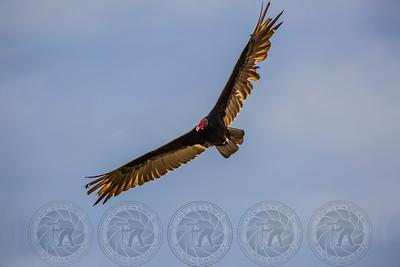 Turkey Vulture Salt River AZ