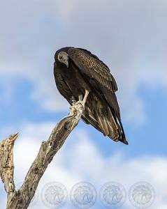 Vulture Salt River AZ