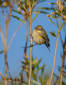 Yellow Rumped Warbler Lake Hodges, CA