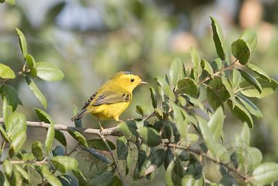 Wilsons Warbler Santee Lakes CA