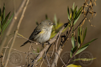 Yellow Rumped Warbler Lake Hodges CA