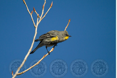 Yellow Rumped Warbler Lake Jennings CA