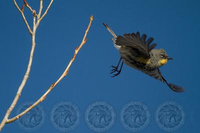 Yellow Rumped Warbler Santee Lakes CA