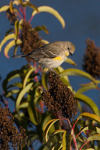 Yellow Rumped Warbler Lake Jennings CA