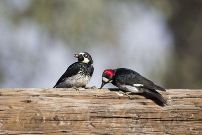 Acorn Woodpecker Lake Hodges CA