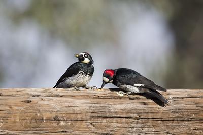 Acorn Woodpecker Lake Hodges CA