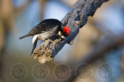 Acorn Woodpecker Lake Cuyamaca CA