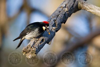 Acorn Woodpecker Lake Cuyamaca CA