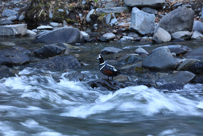 Harlequin on the Rocks