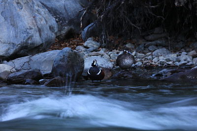 Nesting Harlequins along a mountain stream.